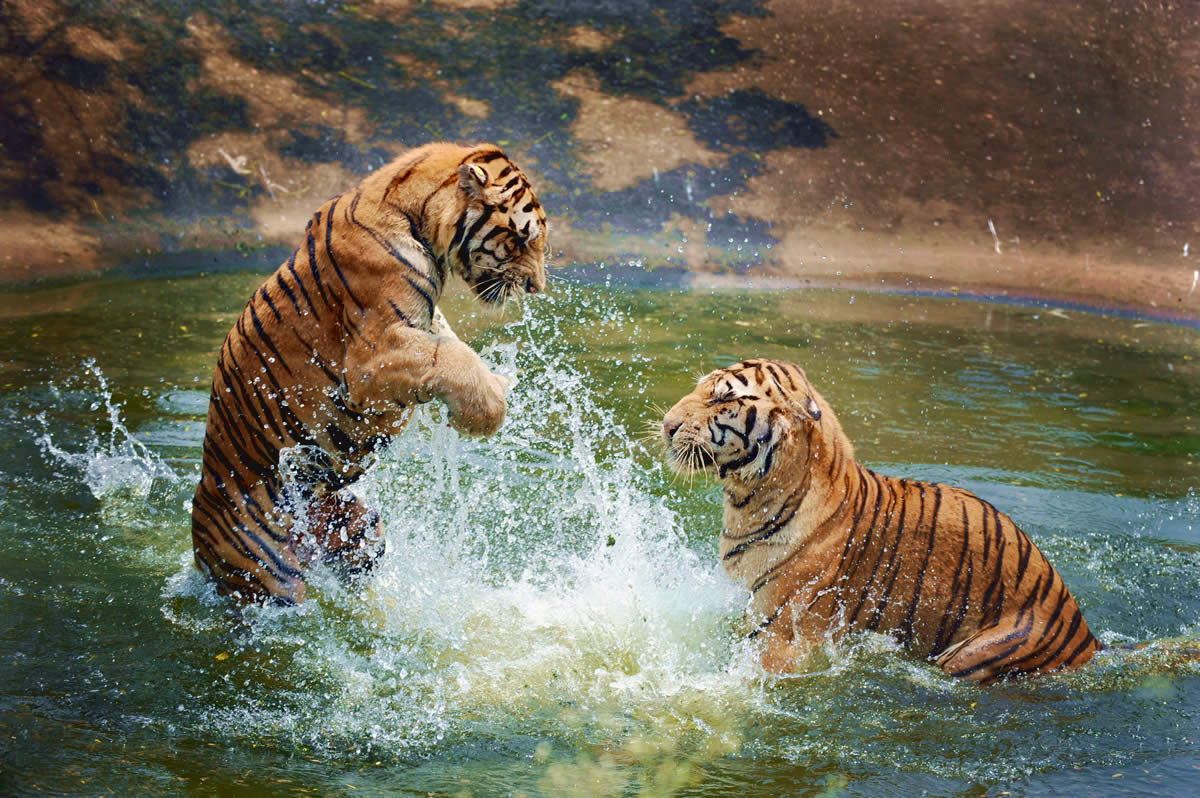 1486129423-bg-tiger.jpg