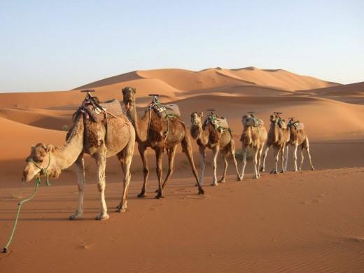 1489734027-camel.jpg
